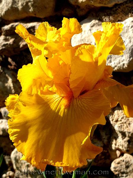 Yellow_Iris4_4.16.19_TWW
