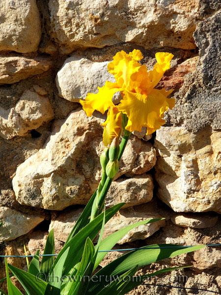 Yellow_Iris5_4.16.19_TWW