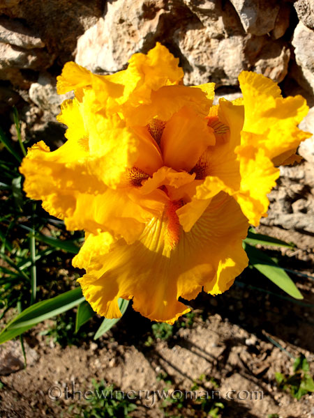 Yellow_Iris6_4.16.19_TWW