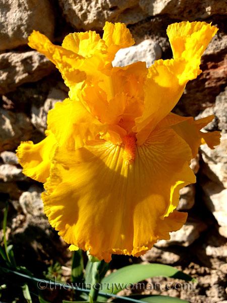 Yellow_Iris7_4.16.19_TWW
