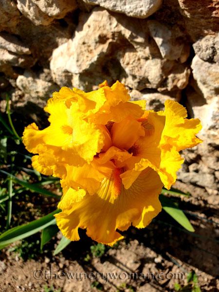 Yellow_Iris8_4.16.19_TWW