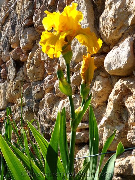 Yellow_Iris9_4.16.19_TWW