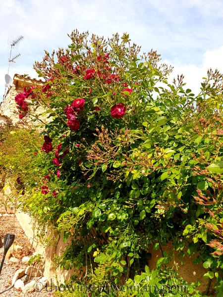 Rosebush2_5.15.19_TWW