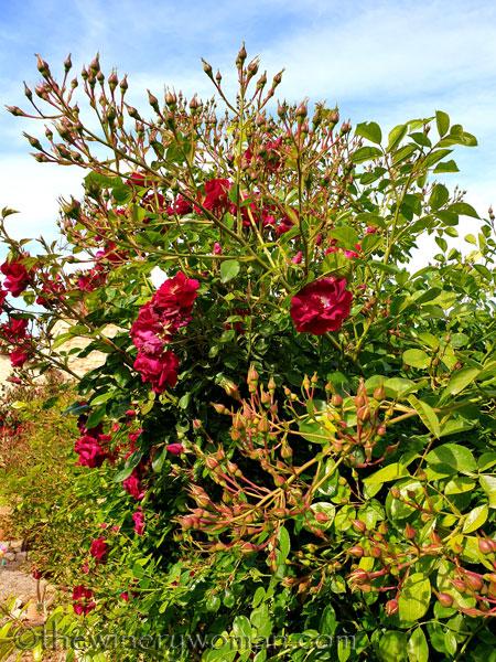 Rosebush6_5.15.19_TWW