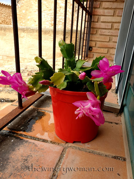 Christmas_Cactus_6.6.19_TWW