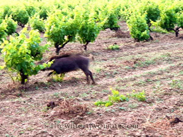 Jabali_in_the_vineyard10_6.11.19_TWW