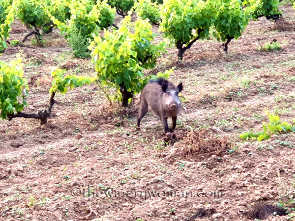 Jabali_in_the_vineyard11_6.11.19_TWW