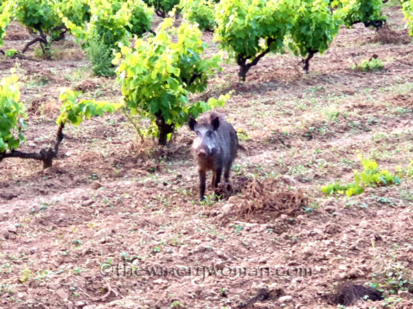 Jabali_in_the_vineyard12_6.11.19_TWW