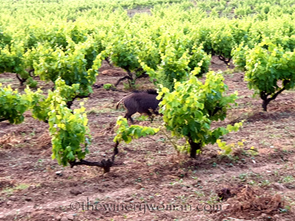 Jabali_in_the_vineyard13_6.11.19_TWW
