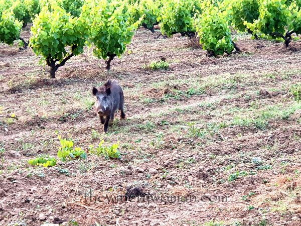Jabali_in_the_vineyard14_6.11.19_TWW