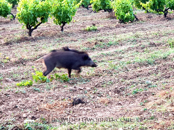 Jabali_in_the_vineyard15_6.11.19_TWW