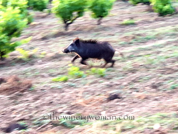 Jabali_in_the_vineyard16_6.11.19_TWW