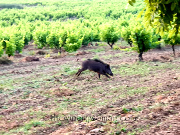 Jabali_in_the_vineyard17_6.11.19_TWW