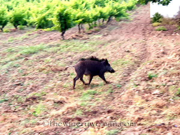 Jabali_in_the_vineyard9_6.11.19_TWW