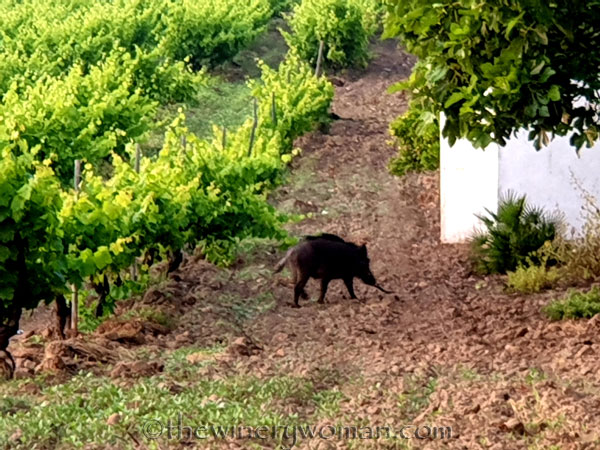 Jabali_in_the_vineyard_6.11.19_TWW