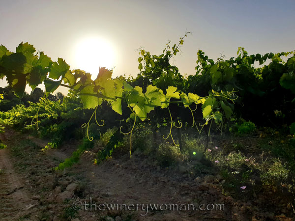 Walk_in_the_vineyard4_6.26.19_TWW