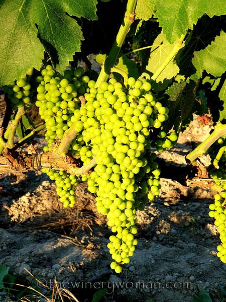 Grapes12_7.13.19_TWW