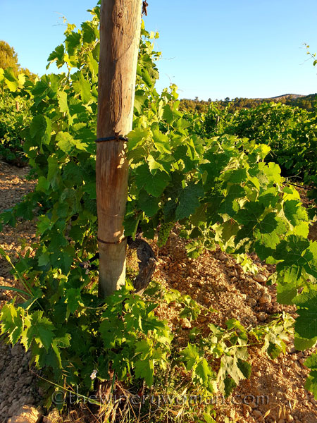Grapes13_7.13.19_TWW