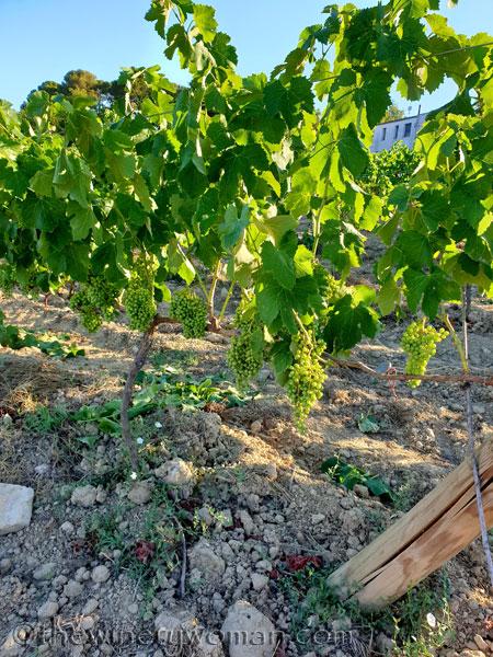 Grapes15_7.13.19_TWW