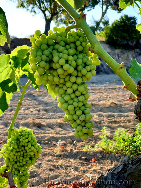 Grapes18_7.13.19_TWW