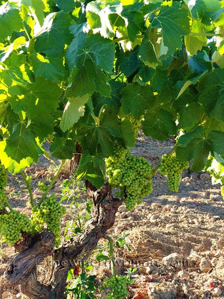 Grapes24_7.13.19_TWW