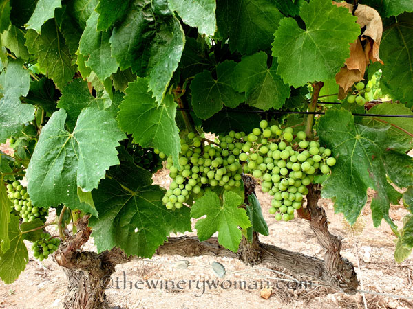Grapes9_7.13.19_TWW