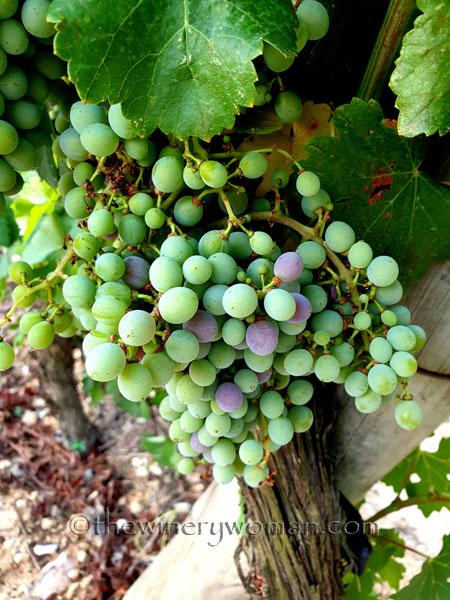 Grapes_Viladellops2_7.30.19_TWW