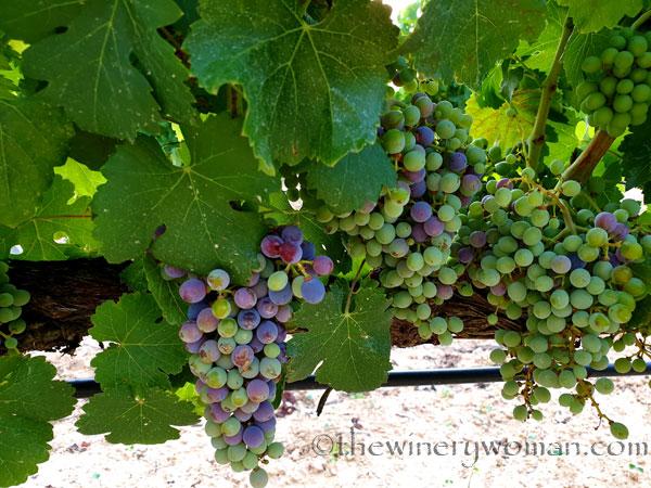 Grapes_Viladellops3_7.30.19_TWW