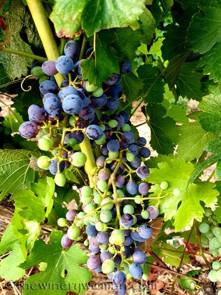 Grapes_Viladellops6_7.30.19_TWW