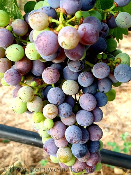 Grapes_Viladellops7_7.30.19_TWW