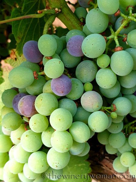 Grapes_Viladellops8_7.30.19_TWW
