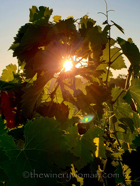Morning_Walk_Vineyard10_7.16.19_TWW