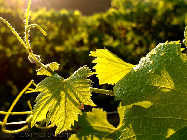 Morning_Walk_Vineyard12_7.16.19_TWW