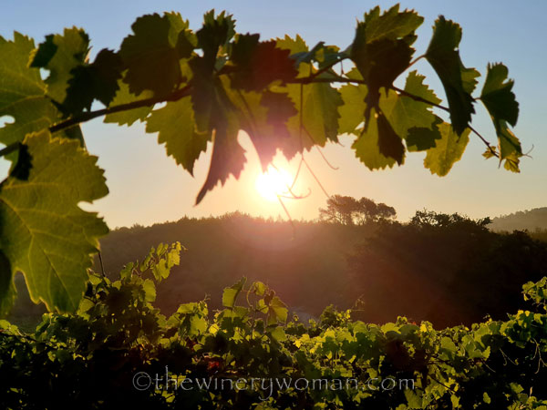 Morning_Walk_Vineyard13_7.16.19_TWW