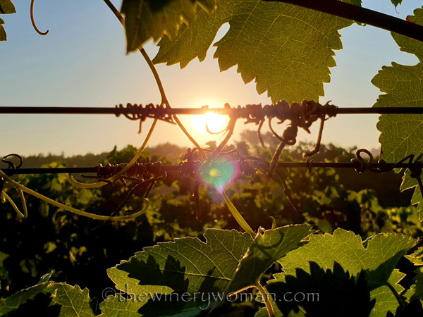 Morning_Walk_Vineyard14_7.16.19_TWW