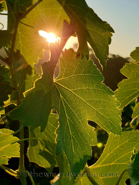 Morning_Walk_Vineyard9_7.16.19_TWW