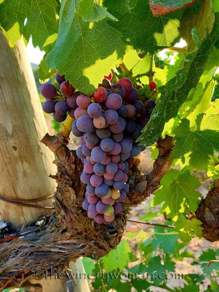 Grapes2_8.3.19_TWW