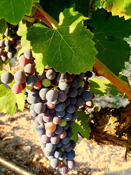 Grapes_8.3.19_TWW