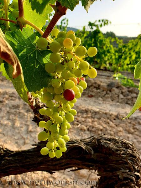 Ripening_Grapes_Viladellops10_8.1.19_TWW