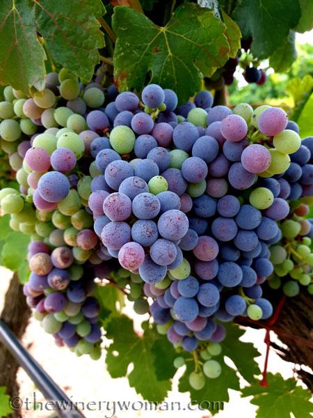 Ripening_Grapes_Viladellops2_8.1.19_TWW