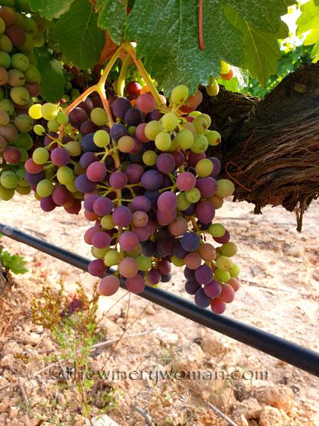 Ripening_Grapes_Viladellops5_8.1.19_TWW
