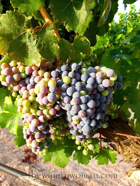 Ripening_Grapes_Viladellops6_8.1.19_TWW