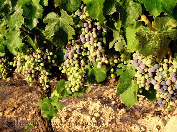 Ripening_Grapes_Viladellops7_8.1.19_TWW