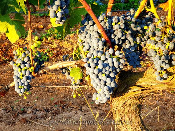 Vineyard11_8.19.19_TWW