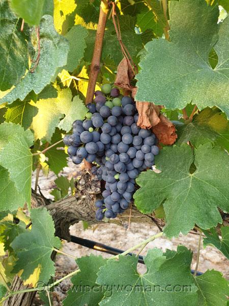 Vineyard3_8.14.19_TWW