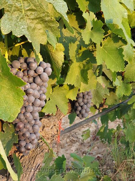 Vineyard4_8.14.19_TWW