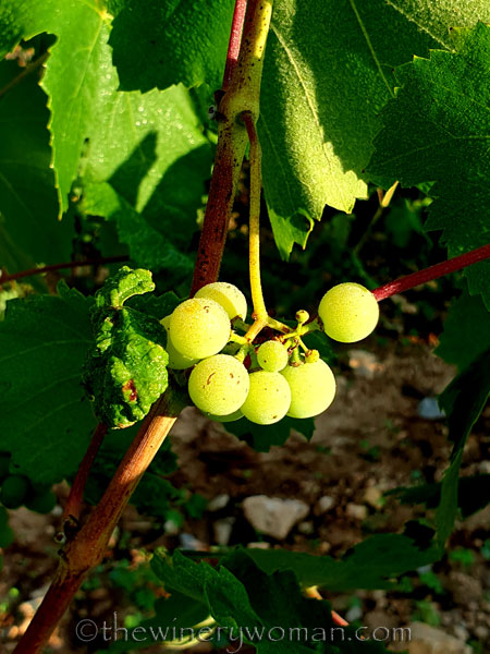 Vineyard5_8.17.19_TWW