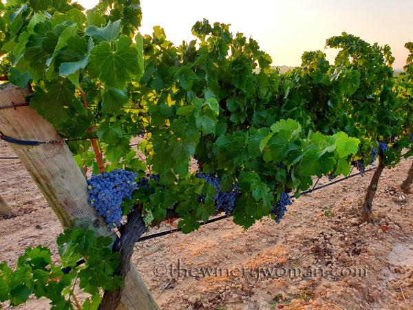 Grapes_Vineyard_8.19.19_TWW