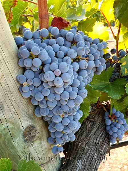Grapes_Vineyard_8.21.19_TWW