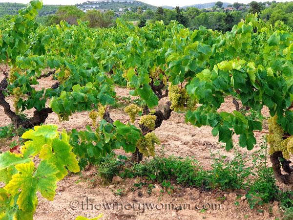 Vineyard3_9.6.19_TWW